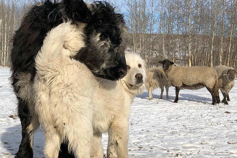 Colorado Mountain Dogs Sybie and Yeti (Photo: @goatsofyamnuska / Instagram)