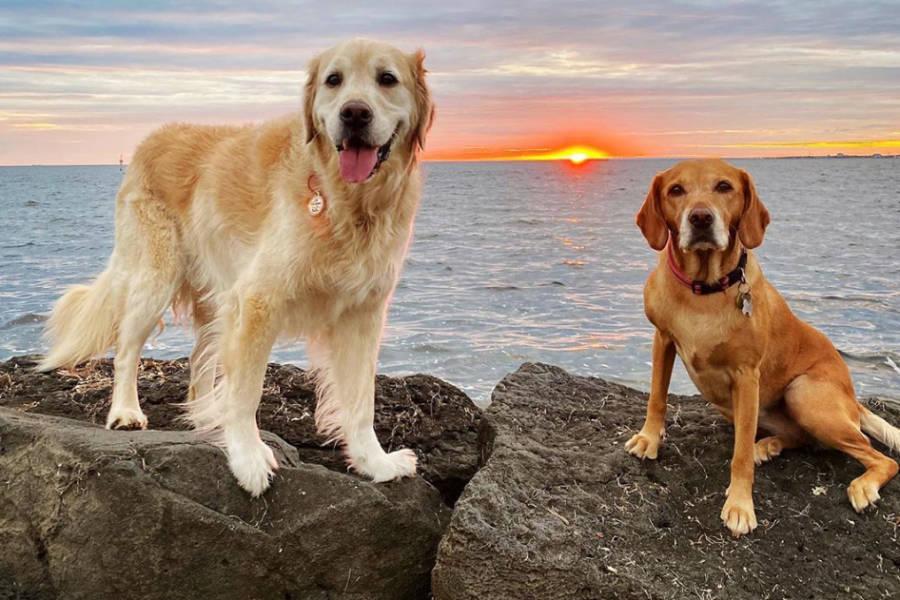 Mia the Cavador and Cooper the Golden Retriever (Photo: @mygoldencooper / Instagram)