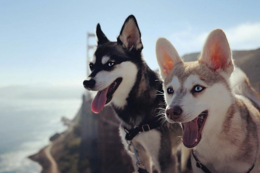 Alaskan Klee Kai Copper and Skye at Golden Gate Bridge (Photo: lifewithkleekai / Instagram)