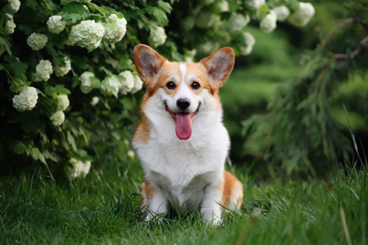 There are two varieties of Corgi (Photo: Adobe Stock)