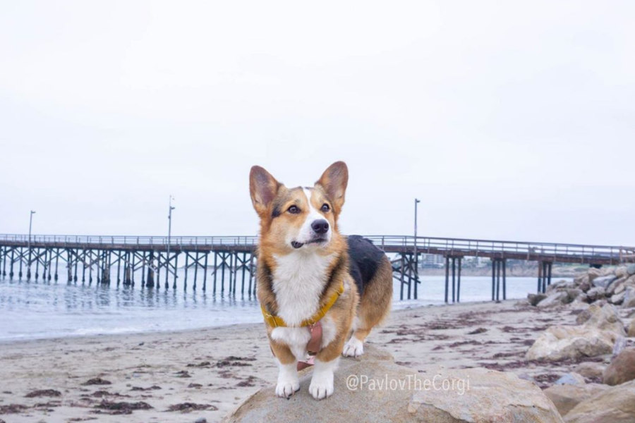 Pavlov the Corgi (Photo: @pavlovthecorgi / Instagram)