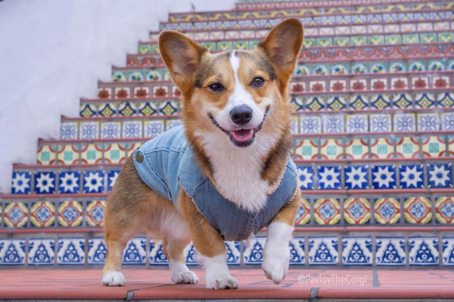 Pavlov The Corgi interview