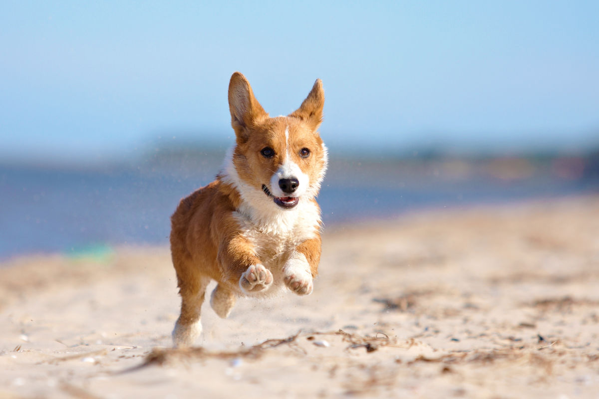 Corgi running on a beach (Photo: Adobe Stock)