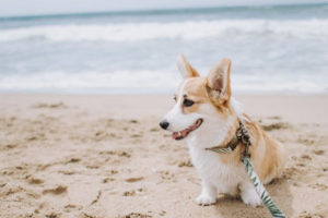 Willo The Corgi Interview
