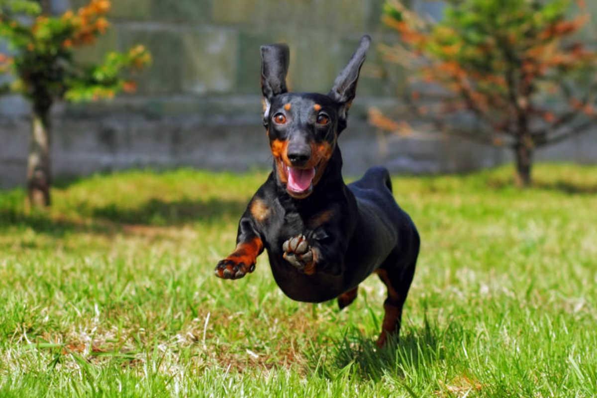 A Dachshund runs in the park (Photo: Adobe Stock)