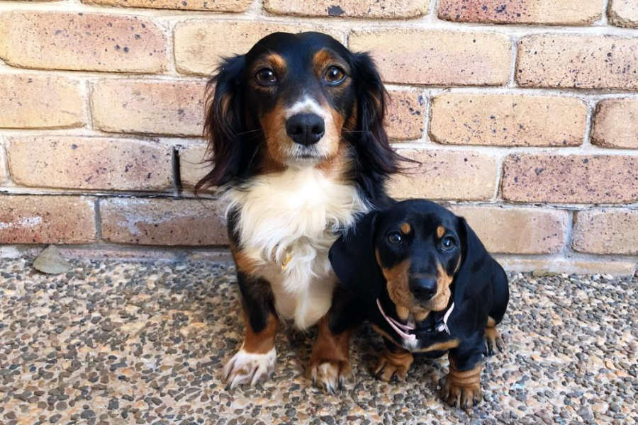 Arlo and Leia the Dachshunds (Photo: @arlo.thedachshund / Instagram)