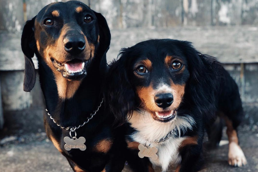 Huey and Arlo the Dachshunds (Photo: @arlo.thedachshund / Instagram)