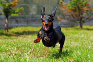 15 facts about Dachshund