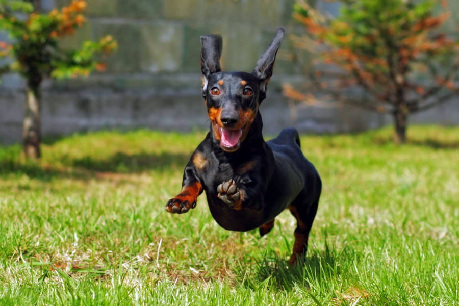 Dachshund bounds and leaps at the park (Photo: Adobe Stock)