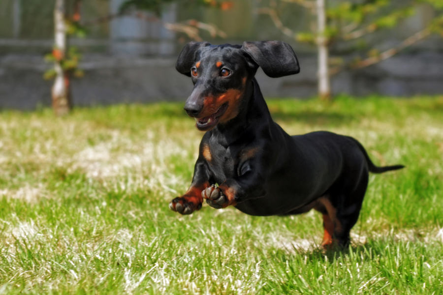 Dachshund come in two sizes: standard and miniature (Photo: Adobe Stock)