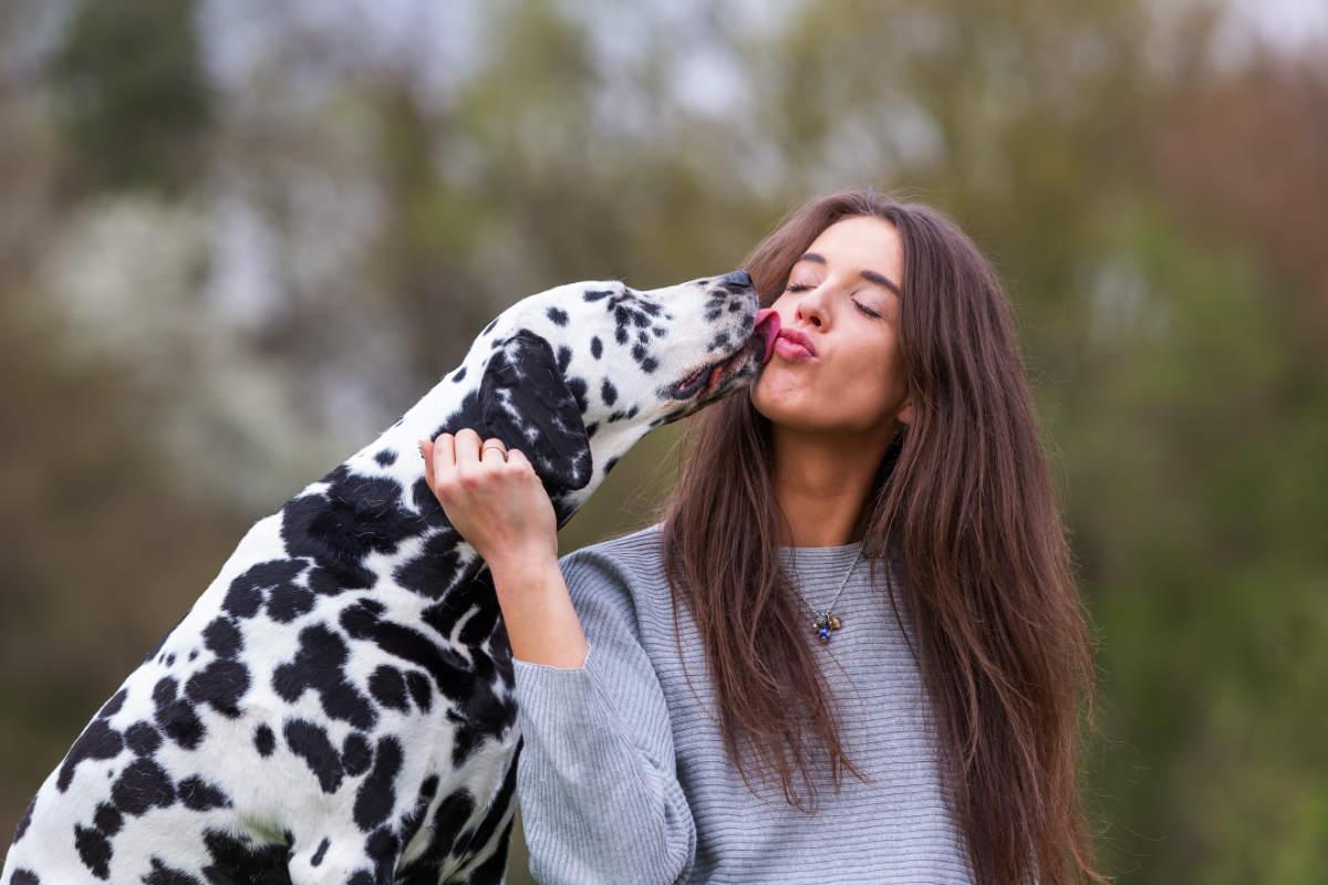 Dalmatian licks owner (Photo: Adobe Stock)