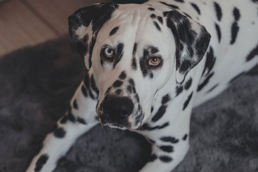 Loki the Dalmatian (Photo: @polka_dot_loki / Instagram)