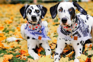 Prim and Paislee Dalmatian Questions and Answers