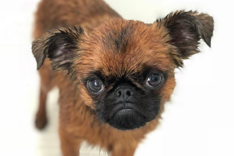 Brussels Griffon are a toy sized breed (Photo: Danzig Bros / Instagram)