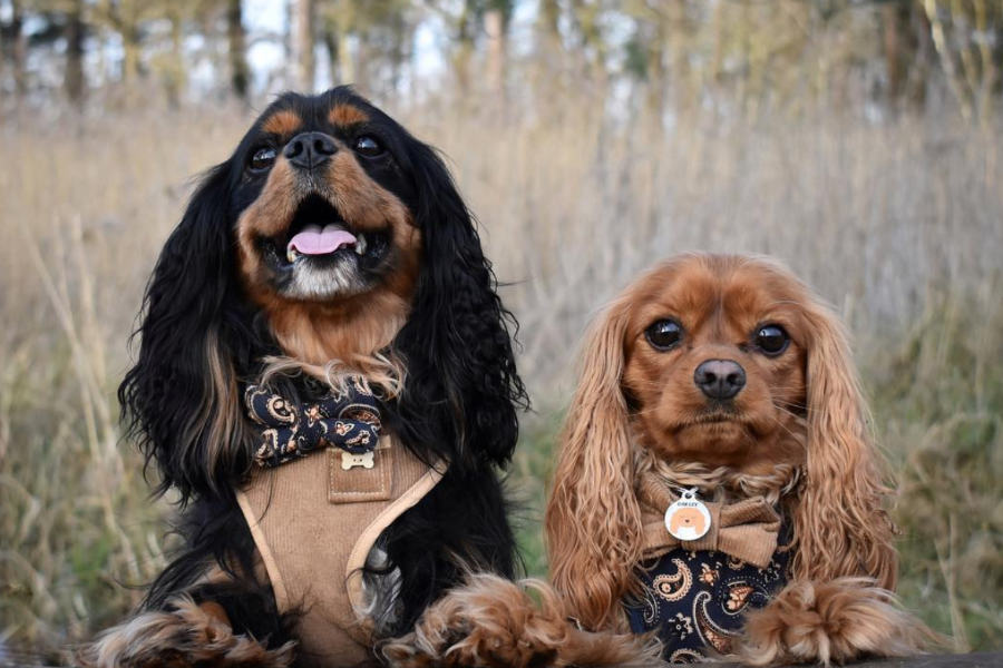 Cavaliers Denver and Oakley (Photo: @denverandoakley / Instagram)