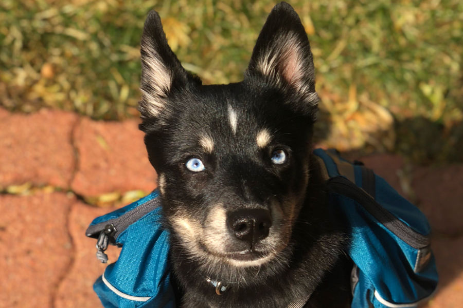 Devo the Alaskan Klee Kai (Photo: @chiapet_devodog / Instagram)