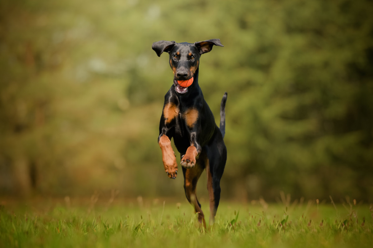 Doberman playing with a ball (Photo: Adobe Stock)