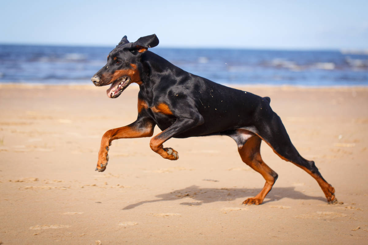 Doberman at the beach (Photo: Adobe Stock)