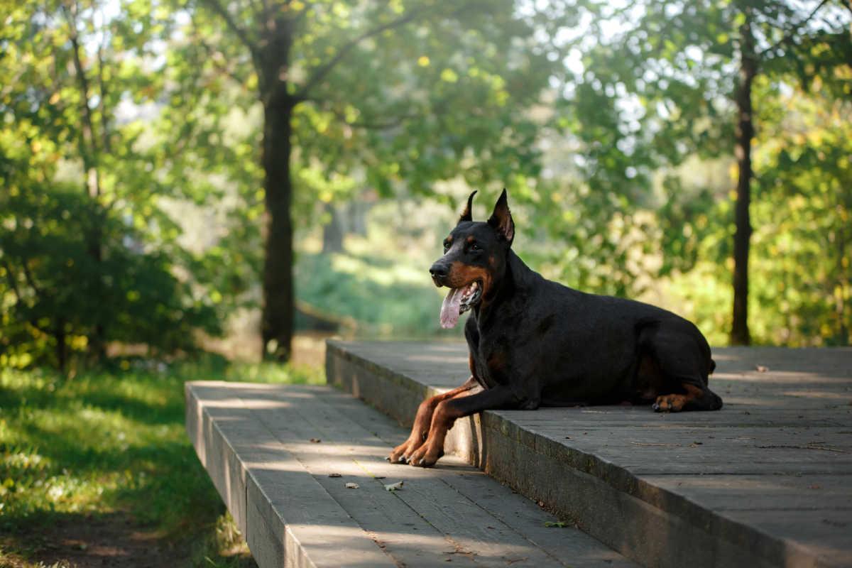 Doberman relaxing in the woods (Photo: Adobe Stock)