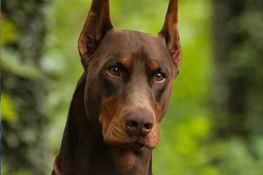 Dexter the Doberman (Photo: @doseofdex / Instagram)
