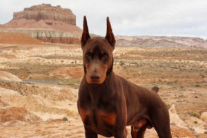 Doberman Pros and Cons