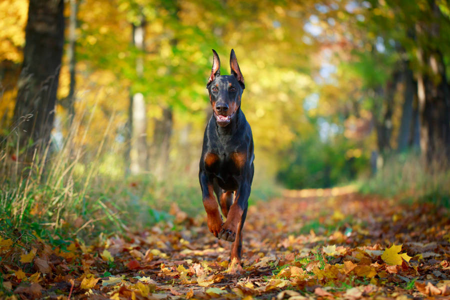 Doberman running in the woods (Photo: Adobe Stock)
