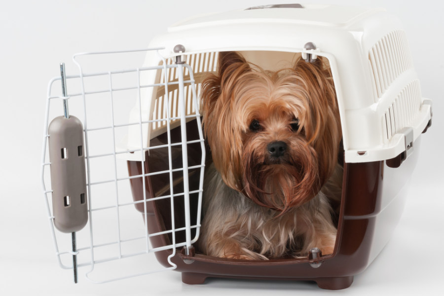 Yorkshire Terrier ready to go home (Photo: Adobe Stock)