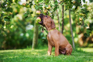 Can Dogs Eat Apple Cores?
