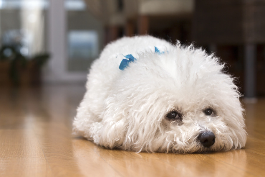 Bichon Frise lying down on the floor of her home, alone, waiting for her owner (Photo: Adobe Stock)