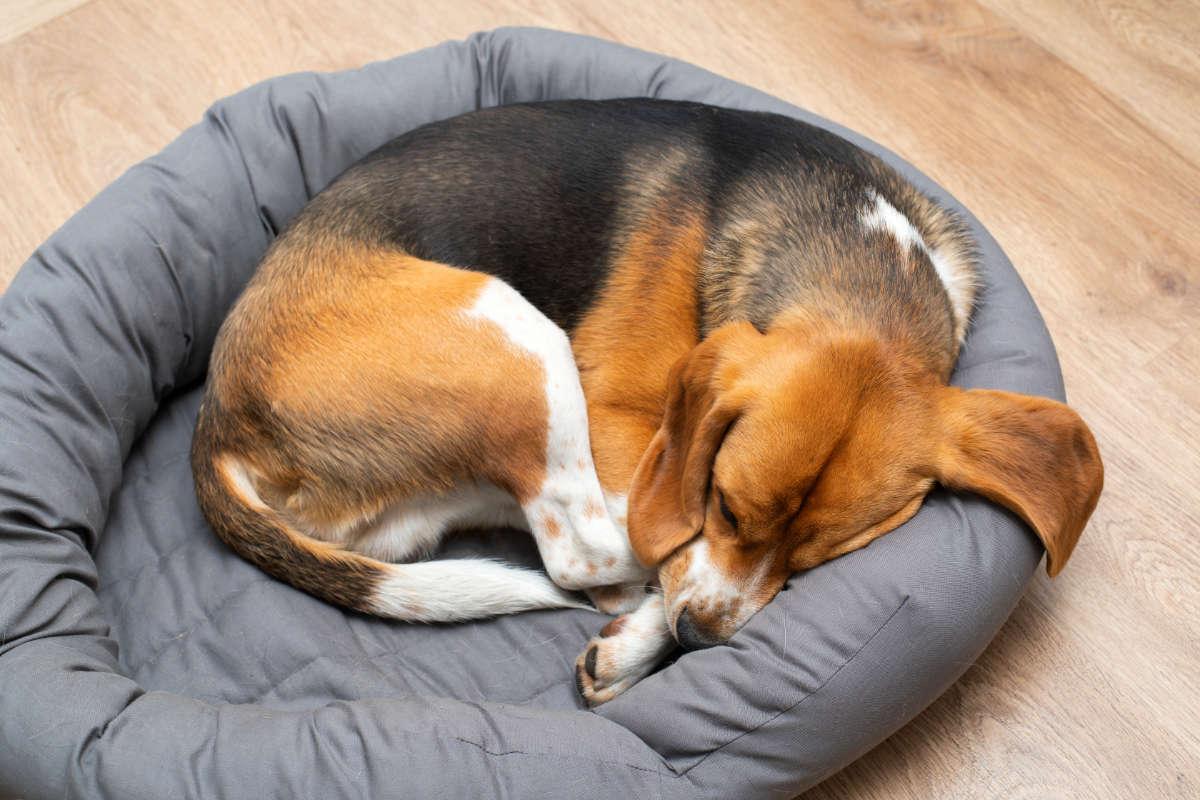 Beagle puppy sleeps in donut position (Photo: Adobe Stock)