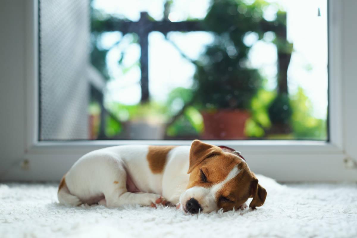 Jack Russel pup sleeps on carpet (Photo: Adobe Stock)