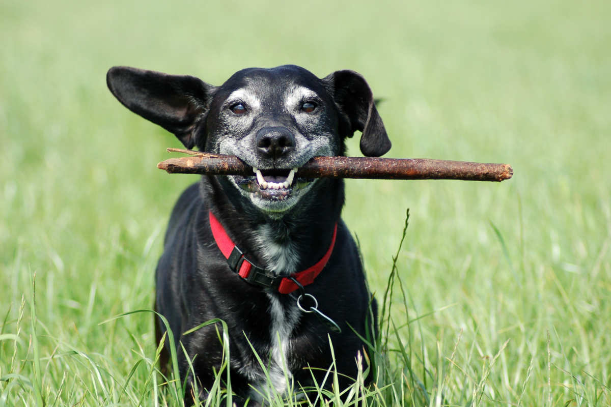 Dog smiling with a stick (Photo: Adobe Stock)