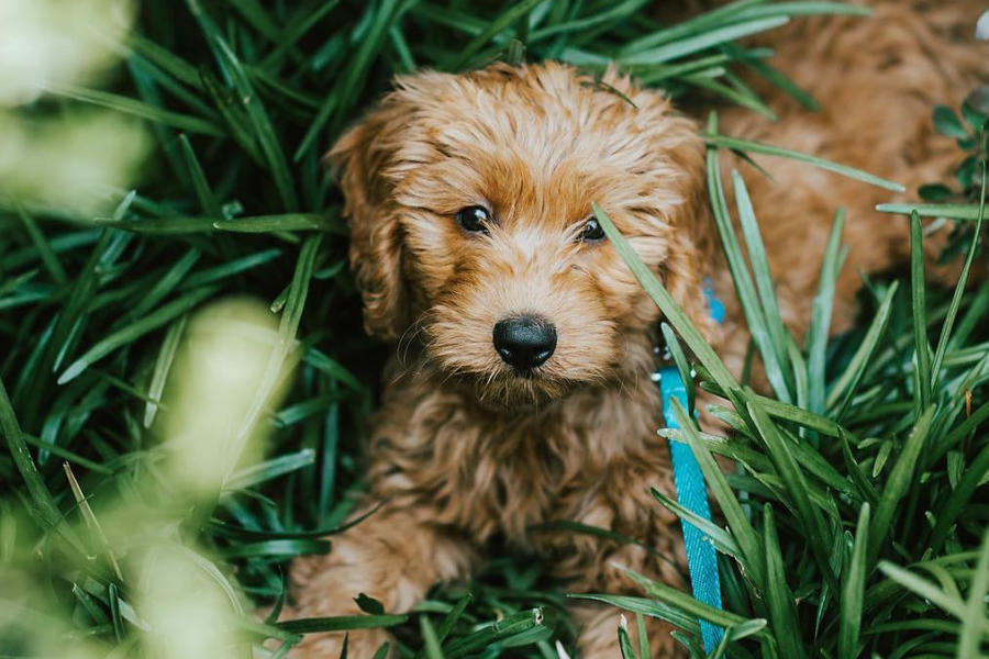 Bentley the Mini Doodle (Photo: minidoodlebentley / Instagram)