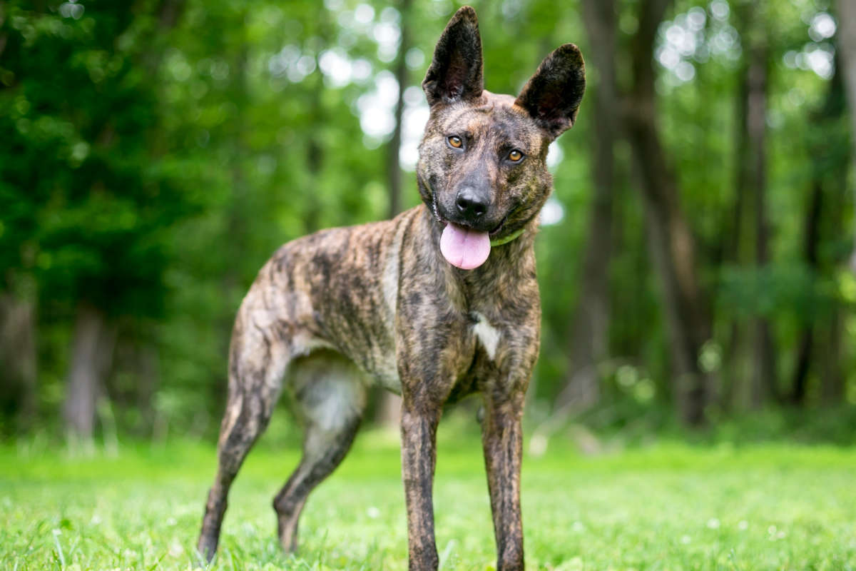 Dutch Shepherd (Photo: Adobe Stock)