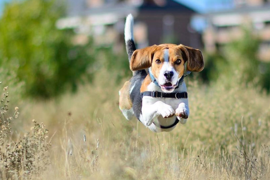 Dylan the Beagle (Photo: Dylan the Crazy Beagle / Instagram)
