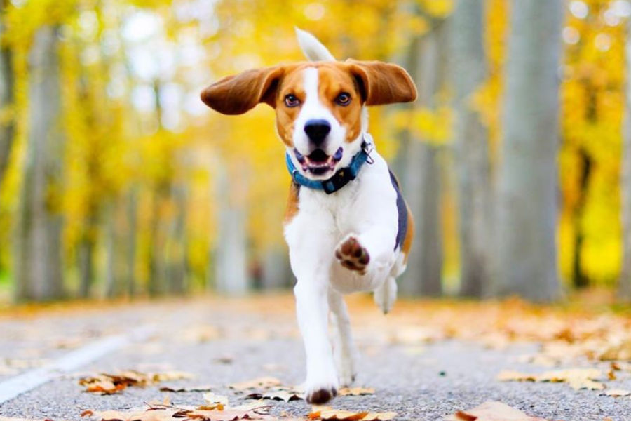 Are Beagles Hypoallergenic?