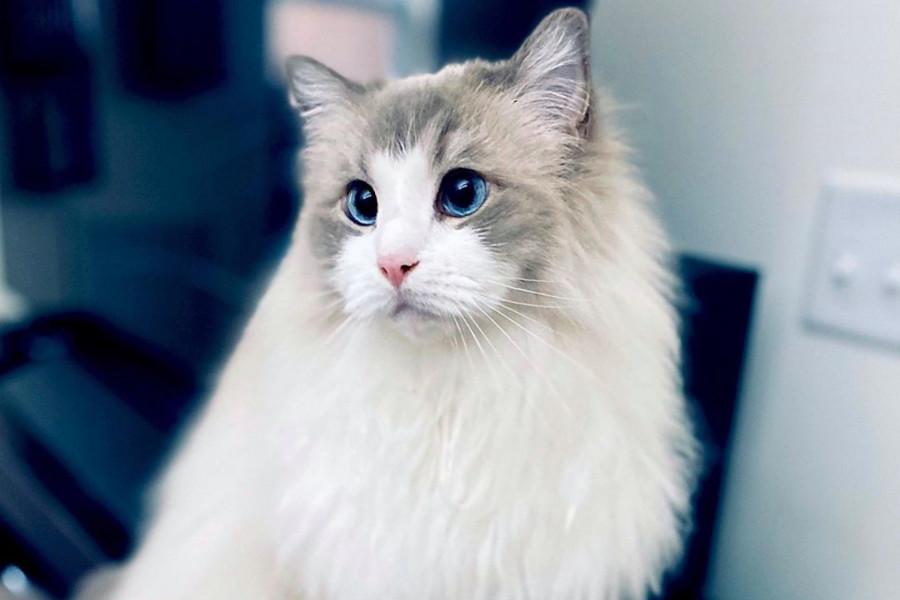 Eloise the Ragdoll cat (Photo: @eloisefluff / Instagram)