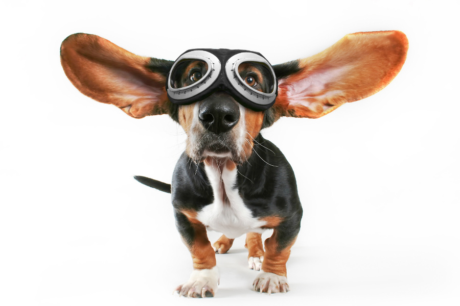 Bassett Hound prepares for a flight (Photo: Adobe Stock)