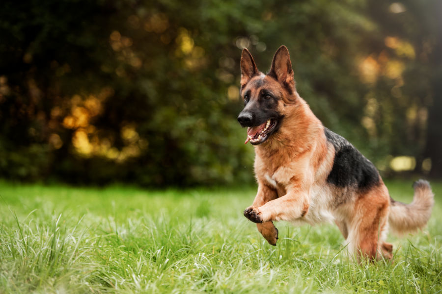 German Shepherd at the park (Photo: Adobe Stock)