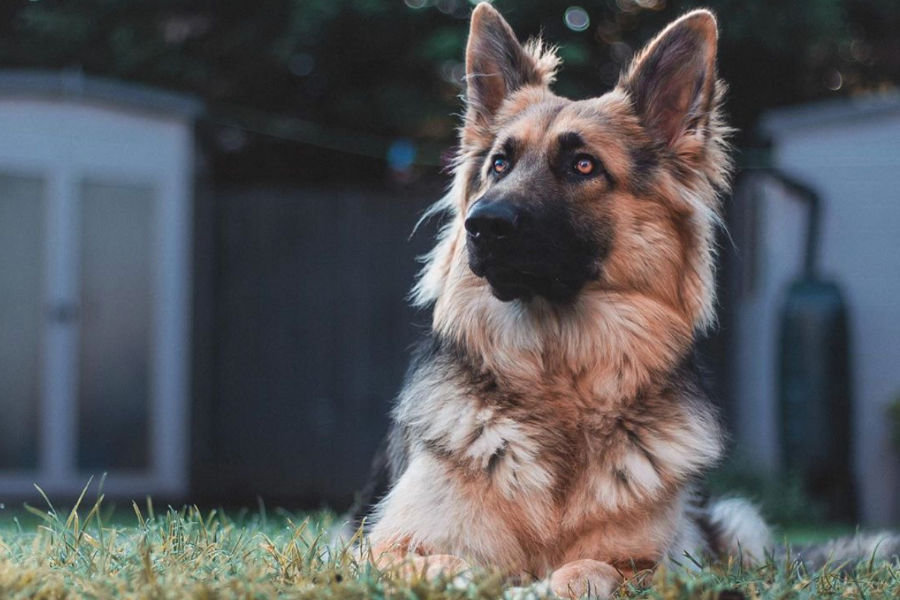 Lola the German Shepherd (Photo: @pawsofshire / Instagram)