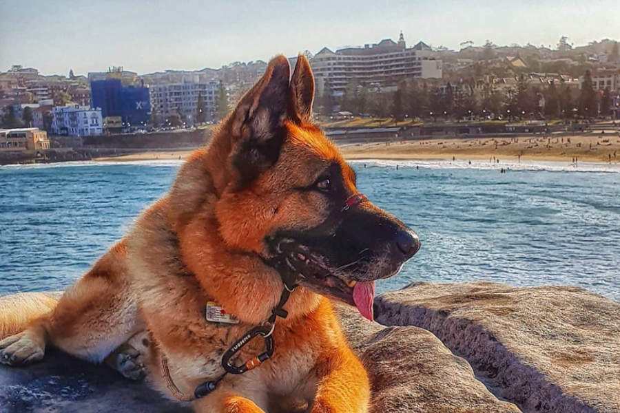 Rex the German Shepherd (Photo: @adventures_of_rex_au / Instagram)