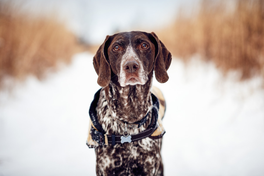 German Shorthaired Pointer (Photo: Adobe Stock)