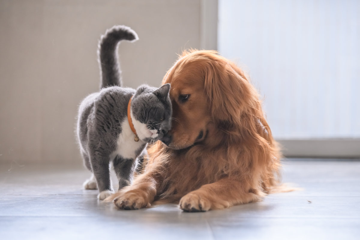 Golden Retriever cuddles cat (Photo: Adobe Stock)