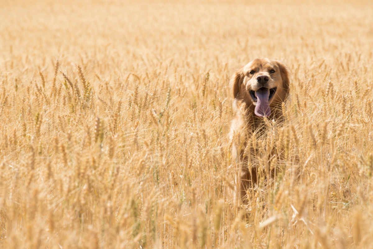 Golden Retriever Dog in wheat field (Photo: Adobe Stock)