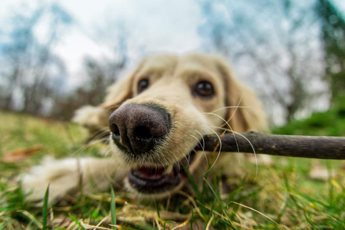 Golden Retriever chews a stick (Photo: Adobe Stock)