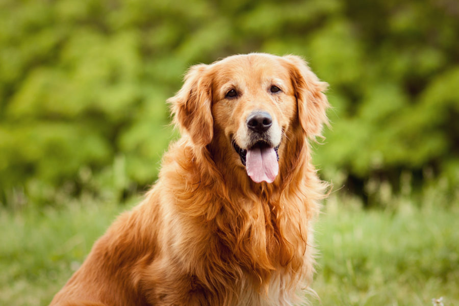 Golden Retriever at the park (Photo: Adobe Stock)