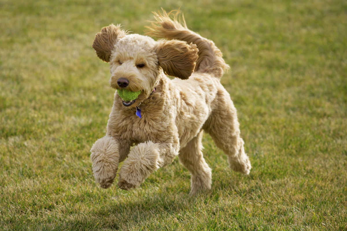 Goldendoodle playing with a tennis ball (Photo: Adobe Stock)