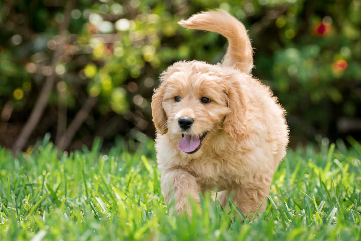 Goldendoodle puppy (Photo: Adobe Stock)