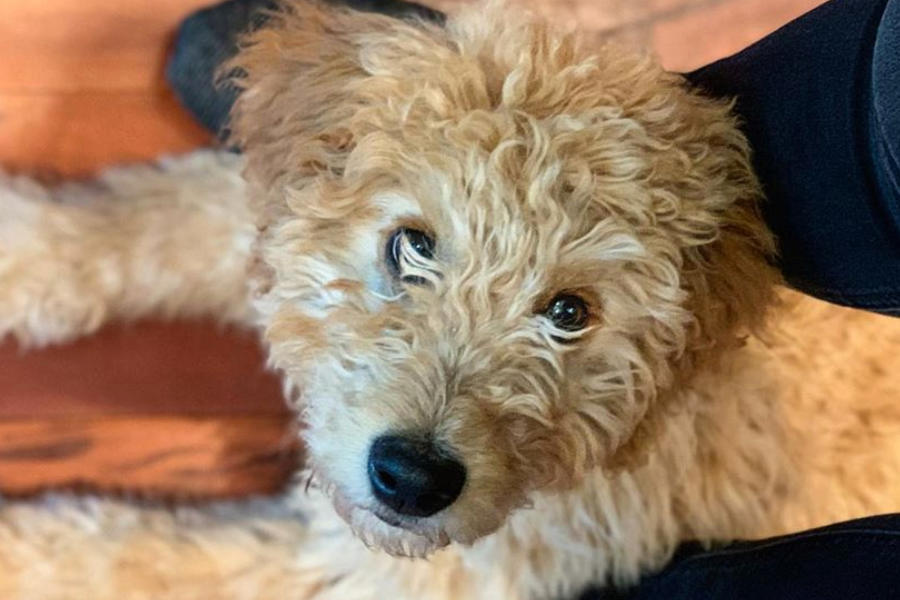 Roosevelt the Goldendoodle (Photo: roosevelttheteddy / Instagram)