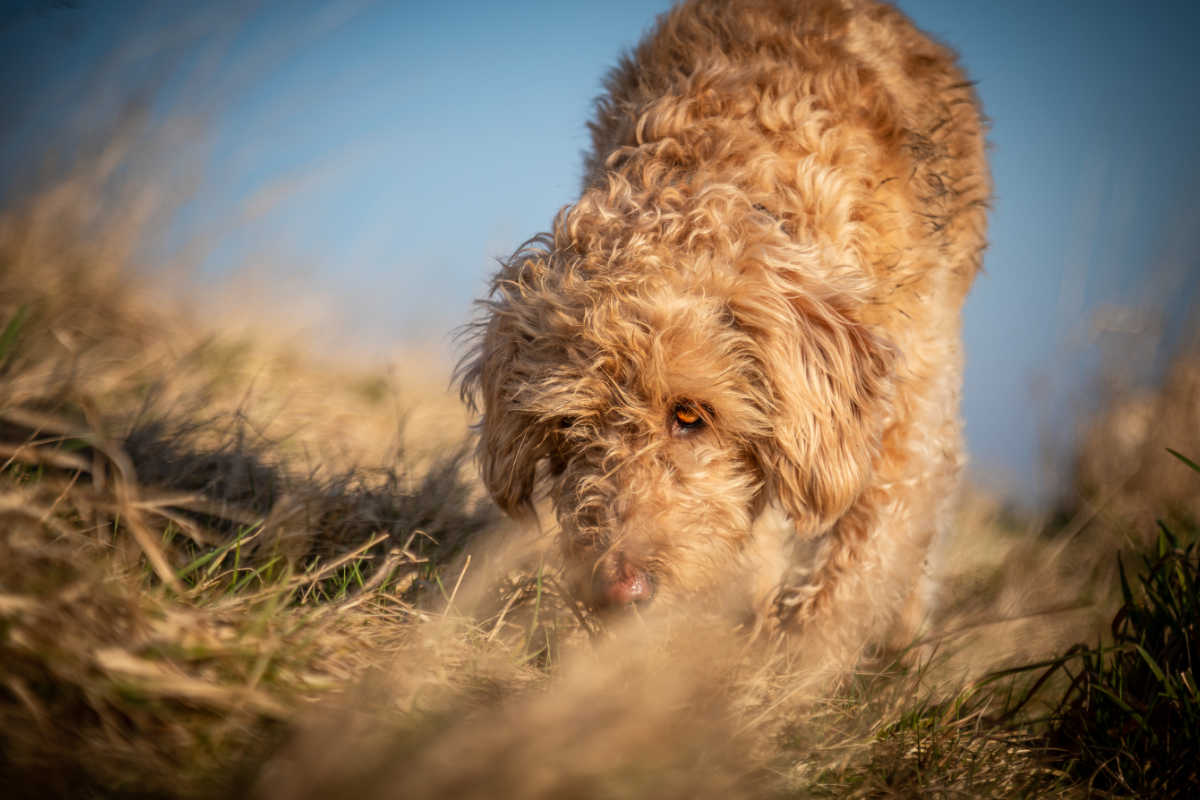 Goldendoodle sniffing in the grass (Photo: Adobe Stock)